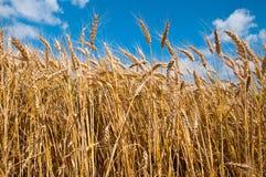Пшеничное поле и голубое небо стоковое фото