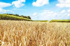 Пшеничное поле и небо с белыми облаками Стоковые Фото