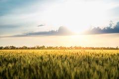 Пшеничное поле и облака ландшафта лета Стоковое фото RF