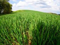 Пшеничное поле и облака зеленого цвета ландшафта лета Стоковое фото RF