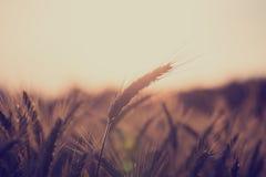 Пшеничное поле на восходе солнца Стоковые Изображения