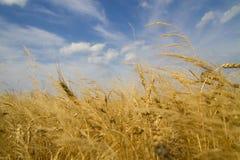 Пшеничное поле на восходе солнца Стоковая Фотография RF