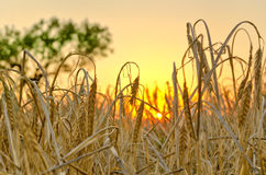 Пшеничное поле на заходе солнца Стоковое Фото