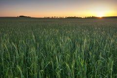Пшеничное поле на заходе солнца, Midwest, США стоковые изображения rf