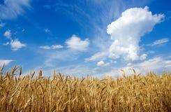 Пшеничное поле на небе предпосылки Стоковые Фотографии RF