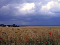 Пшеничное поле на острове gen ¼ RÃ Стоковые Изображения