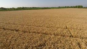 Пшеничное поле осмотренное от воздушно- вид спереди, двигая вперед, малая высота, больше скорости HD видеоматериал