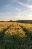 Пшеничное поле перед ландшафтом сбора Стоковое Фото