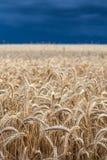 Пшеничное поле перед штормом Стоковая Фотография RF