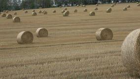 Пшеничное поле после сбора с связками соломы видеоматериал