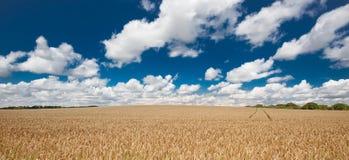 Пшеничное поле под красивым небом лета Стоковые Изображения