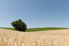 Пшеничное поле под темносиним небом Стоковая Фотография RF