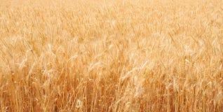 Пшеничное поле, предпосылка пшеницы Стоковые Фотографии RF