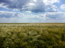 Пшеничное поле природы Стоковые Фотографии RF