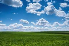 Пшеничное поле против голубого неба с белыми облаками Земледелие scen Стоковая Фотография RF