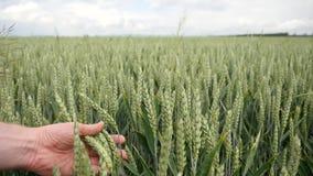 Пшеничное поле развевает в ветре Двинутые черенок рож ветром лета, начинать лета сток-видео