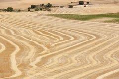 Пшеничное поле свеже отрезало Ландшафт предпосылки земледелия Summe Стоковое фото RF