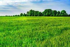 Пшеничное поле - сельский пейзаж Стоковые Фото