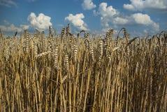 Пшеничное поле с голубым небом и белыми облаками стоковое фото