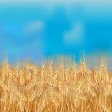 Пшеничное поле с голубым небом Стоковая Фотография