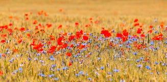 Пшеничное поле с полем мака Стоковые Изображения