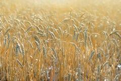 Пшеничное поле с солнечным светом Стоковая Фотография RF