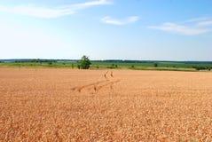 Пшеничное поле с трассировками колес автомобиля Стоковое Изображение RF