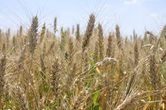 Пшеничное поле с ясным голубым небом и некоторыми облаками Стоковая Фотография