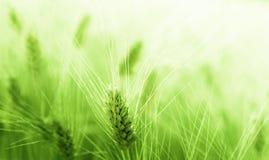 Пшеничное поле Стоковое Фото