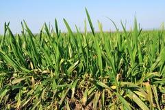 Пшеничное поле Стоковое Изображение