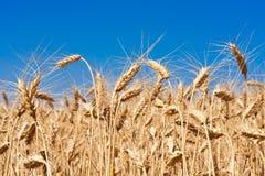 Пшеничное поле стоковое фото rf