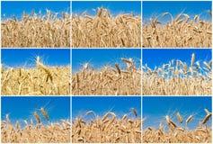 Пшеничное поле стоковые изображения rf