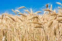 Пшеничное поле стоковая фотография