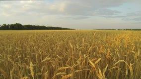 Пшеничное поле сток-видео
