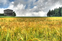 Пшеничное поле - HDR стоковое изображение rf