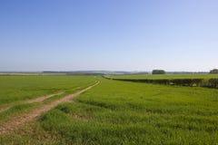 Пшеничные поля и живые изгороди пустошей Йоркшира в весеннем времени Стоковое Изображение