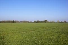 Пшеничные поля и полесье Вейл Йорка в весеннем времени Стоковая Фотография RF