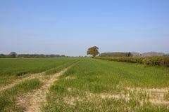 Пшеничные поля весеннего времени Йоркшира Стоковая Фотография