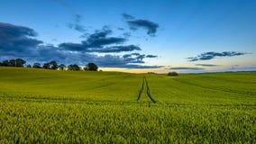 пшеничные поля в лете с молодыми урожаями Стоковые Изображения