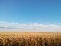 Пшеничные поля в Украине в лете Стоковые Изображения RF