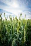 Пшеничные поля, лето Стоковые Изображения