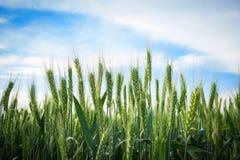 Пшеничные поля, лето Стоковая Фотография RF