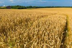 Пшеничные поля золота и драматическое голубое небо в июле, Бельгия Стоковые Фотографии RF