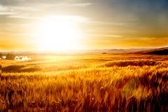 Пшеничные поля и ландшафт захода солнца Стоковое Изображение RF