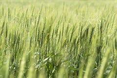 Пшеничные поля крупного плана зеленые Стоковое Фото