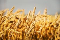 Пшеничные поля Стоковая Фотография RF