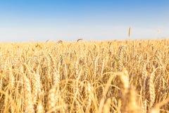 Пшеничные поля Стоковое фото RF