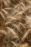 Пшеничные поля Стоковое Изображение