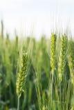 Пшеничные поля Стоковые Изображения