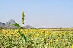 Пшено в поле солнцецвета Стоковое Изображение RF